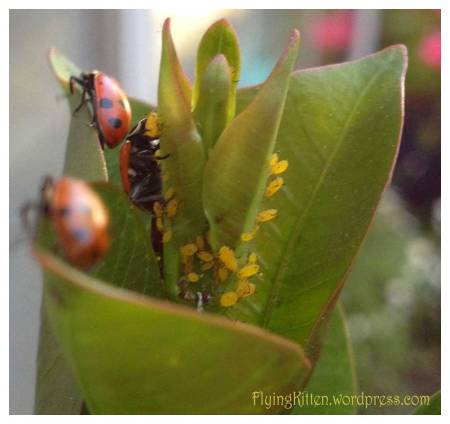 ladybugs eating pesky aphids
